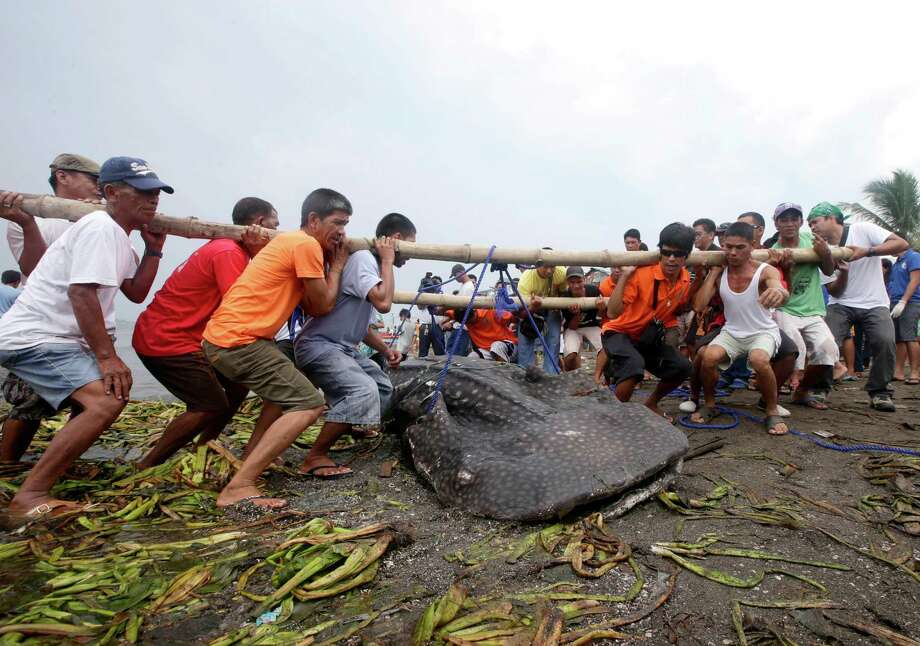 Residents and volunteers help remove a dead whale shark that was swept ashore Thursday Sept. 5, 2013 at the coastal township of Tanza, Cavite province, south of Manila, Philippines. Officials at the Bureau of Fisheries and Aquatic Resources have yet to conduct a necropsy of the largest fish on the planet which was found off Manila Bay at the township where an oil spill occurred last month. Photo: AP