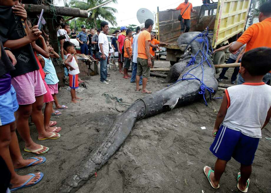 Residents and volunteers prepare to load into a dump truck a dead whale shark that was swept ashore Thursday Sept. 5, 2013 at the coastal township of Tanza, Cavite province south of Manila, Philippines. Officials at the Bureau of Fisheries and Aquatic Resources have yet to conduct a necropsy of the largest fish on the planet which was found off Manila Bay at the township where an oil spill occurred last month. Photo: AP