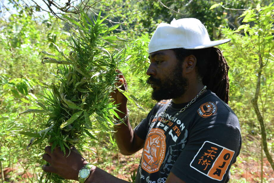 In this Aug. 29, 2013 photo, farmer nicknamed Breezy shows his illegal patch of budding marijuana plants during a tour of his land in Jamaica's central mountain town of Nine Mile. Breezy says Americans, Germans and increasingly Russian tourists have toured his small farm and sampled his crop. Photo: AP