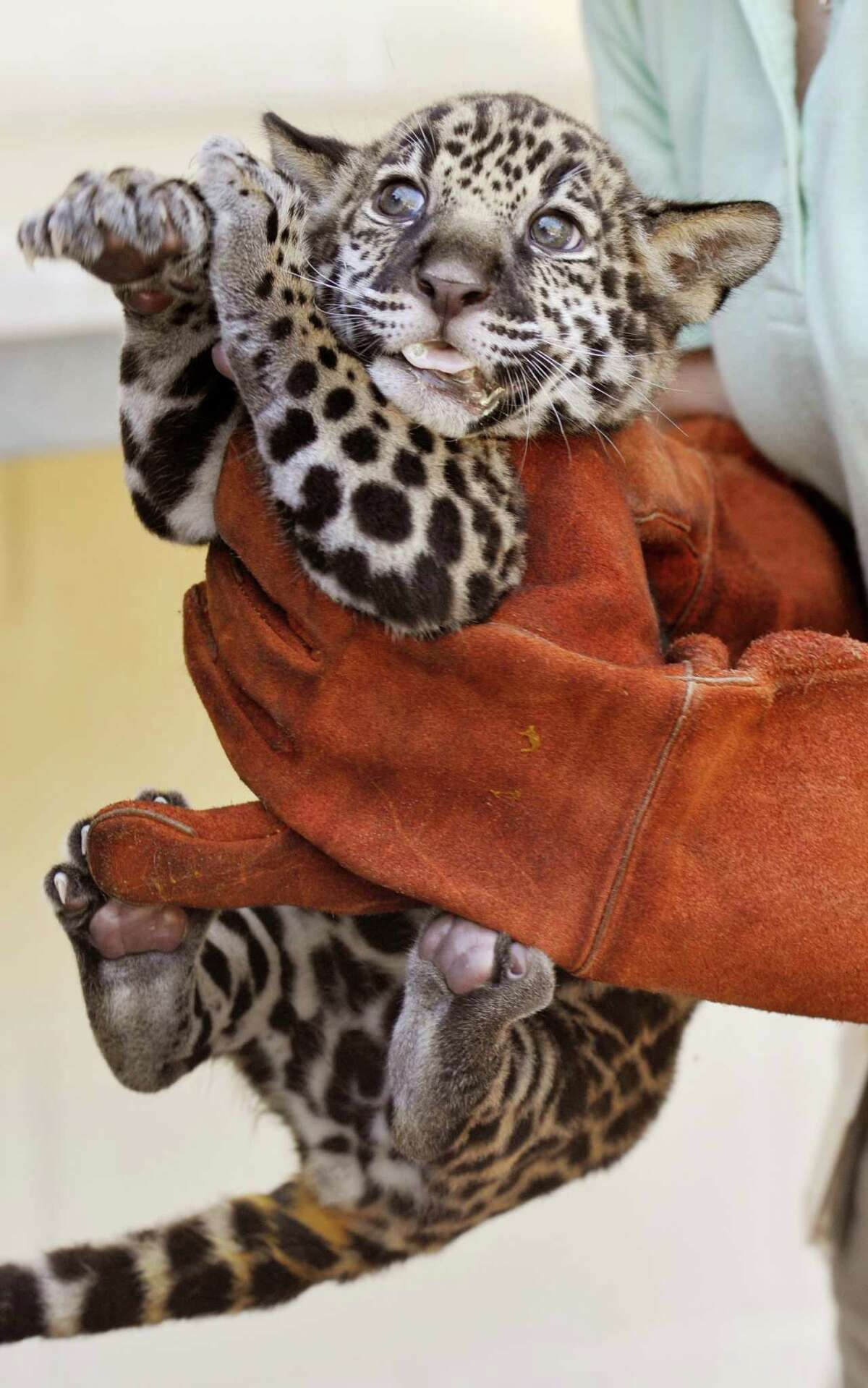 A baby jaguar, born on July 18, 2013 gets a check-up, Wednesday, Sept. 4, 2013 at the Jacksonville Zoo and Gardens in Jacksonville, Fla. The cub will be named at a rally for the Jacksonville Jaguars of the NFL later this week.