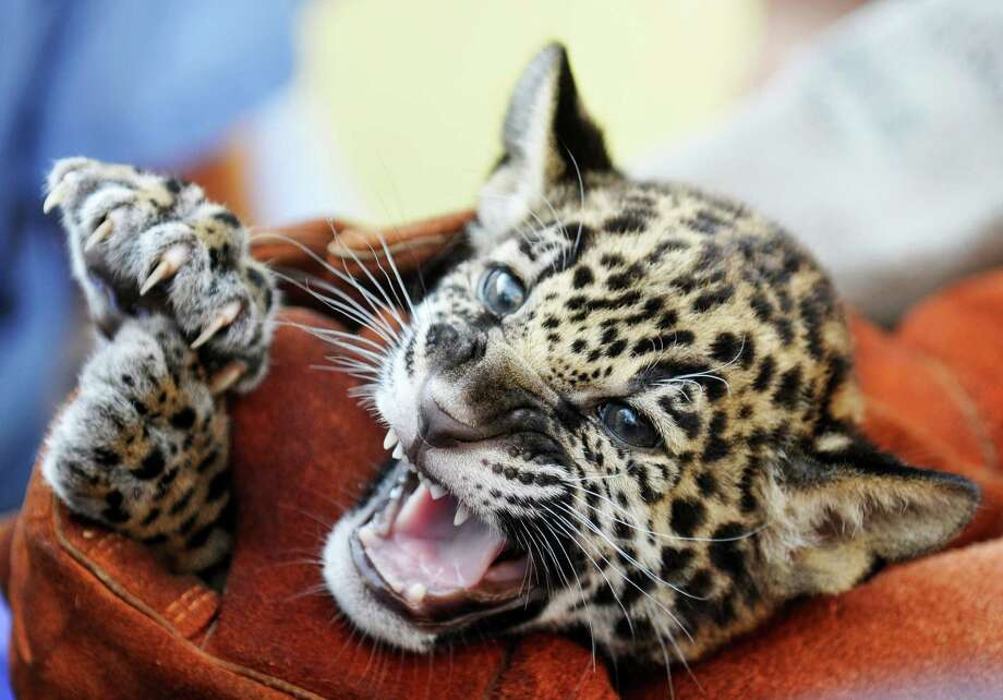 A baby jaguar, born on July 18, 2013 gets a check-up, Wednesday, Sept. 4, 2013 at the Jacksonville Zoo and Gardens in Jacksonville, Fla. The cub will be named at a rally for the Jacksonville Jaguars of the NFL later this week. Photo: AP