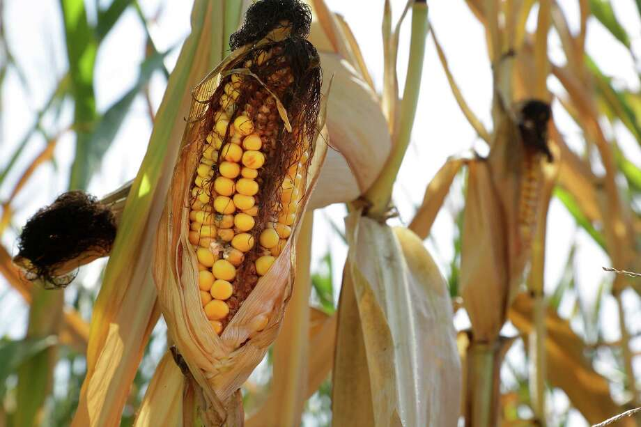 An ear of corn is blackened in the sun during a heat wave in Farmingdale, Ill., this summer. Researchers with the United States and British governments concluded Thursday Sept. 5, 2013, that climate change had made these events more likely: U.S. heat waves, Superstorm Sandy flooding, shrinking Arctic sea ice, drought in Europe's Iberian peninsula, and extreme rainfall in Australia and New Zealand. Photo: AP