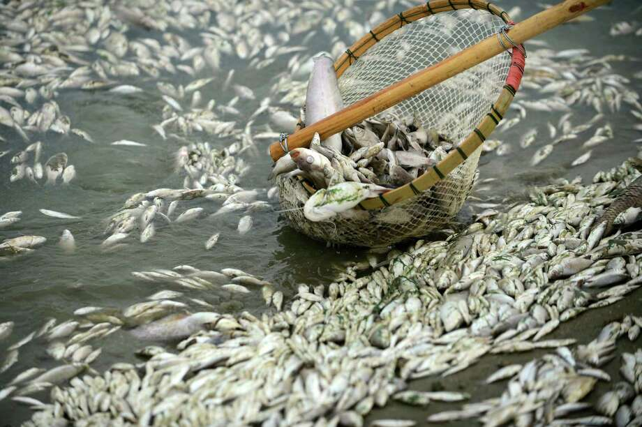 In this photo taken Tuesday, Sept. 3, 2013, a net lifts up dead fish found near the outlet of the Ta'ertou pumping station along Fuhe river's Dongxihu section in Wuhan in central China's Hubei province. Authorities scooped up around 100,000 kilograms (220,000 pounds) of dead fish they say were poisoned by ammonia from a chemical plant, environmental officials and state media said Wednesday, Sept 4, 2013, in a reminder of the pollution plaguing the country. Inadequate controls on industry and lax enforcement of existing standards have worsened China's pollution problem, stemming from three decades of breakneck economic growth. (AP Photo)  Photo: AP