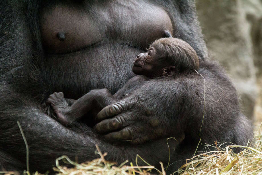 This photo released Friday Sept. 6, 2013 by the Buffalo Zoo shows a new baby western lowland gorilla. Zoo officials say the baby gorilla was born Wednesday Sept. 4, 2013. The mother, 12-year-old Lily, and the baby are both doing well. Keepers have not been able to get close enough to the baby to determine its gender, but they believe it's a girl. The father is a 26-year-old male named Koga. Western lowland gorillas are native to central Africa. Zoo officials say the species is critically endangered due to loss of habitat and hunting. Photo: AP