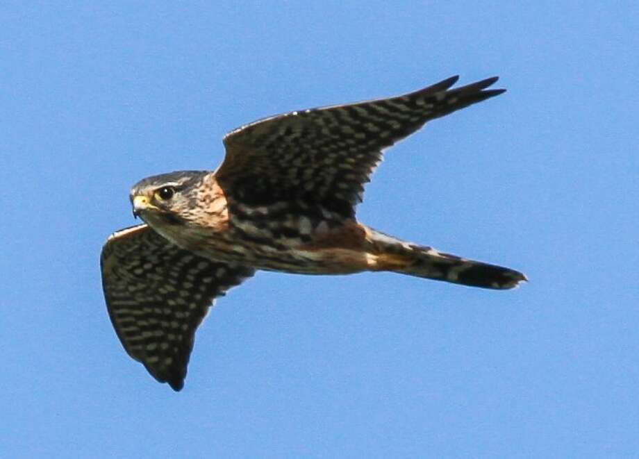 The first merlin of the season came over the Audubon Greenwich Center on Friday, Sept. 6, 2013. Photo: John Hannan