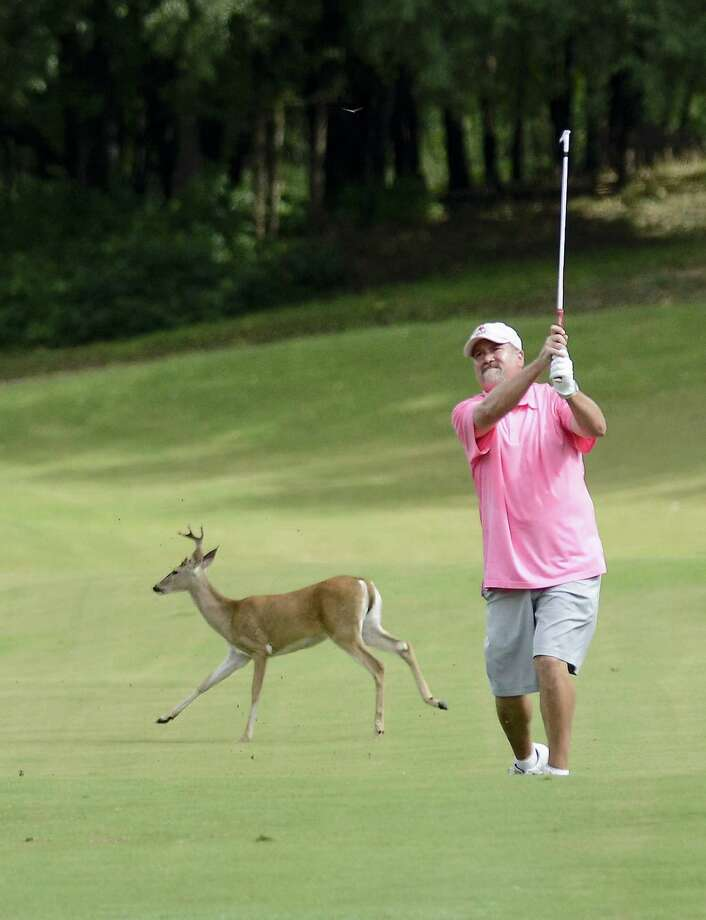 Windcrest mayor Alan Baxter hits from the fairway at Olympia Hills as a deer runs behind him. Baxter edged 2010 GSA Mid-Amateur winner Joe Stephenson by one shot. Photo: Darren Abate / For The Express-News