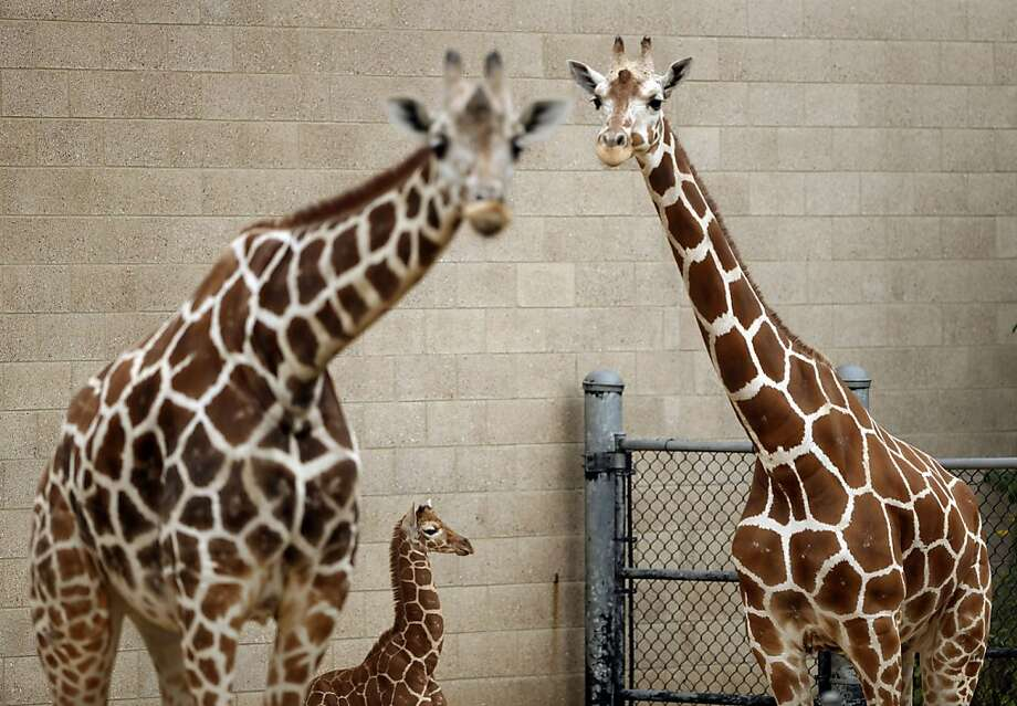 A baby giraffe born at Como Zoo in St. Paul just a week ago made her public debut Sunday Sept. 8, 2013. The as-yet unnamed giraffe, weighed 130 lbs. and was five foot eight inches tall at birth. It's her mother, Clover's fifth calf and the 17th giraffe born at Como in the last 20 years. Giraffe gestation lasts between 14 and 15 months. The baby's height will double in the next two years. Like human fingerprints, the markings on a giraffe's coat are unique to each animal. Clover stood with her week-old baby shortly after she was allowed outdoors for the first time Sunday morning. The week-old newborn female stood between Daisy, left, and her mom, Clover, not long after being allowed outside for the first time Sunday morning.  (AP Photo/The Star Tribune, Jeff Wheeler) Photo: Jeff Wheeler, Associated Press