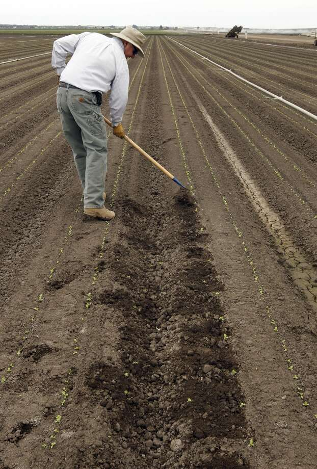 Matt Rossow, demonstrates the hand method of creating a ten inch space between romaine lettuce plants in a field. Photo: Michael Macor, San Francisco Chronicle