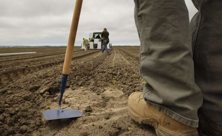 The team works a romaine lettuce field. Photo: Michael Macor, San Francisco Chronicle