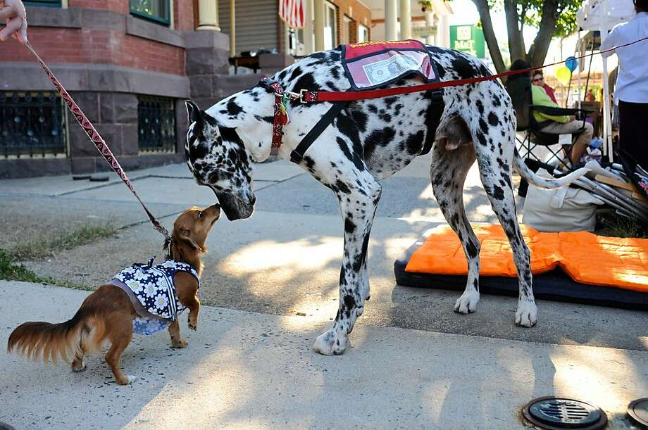 I've never met a horse before: Chloe Grace the Undetermined sniffs curiously at Bandit the Great Dane during Heritage Day in Orwigsburg, Pa. Photo: Jacqueline Dormer, Associated Press