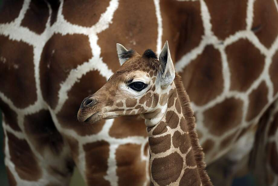 We're pretty sure there's a baby giraffe around here somewhere:	They tend to blend in at the Como 