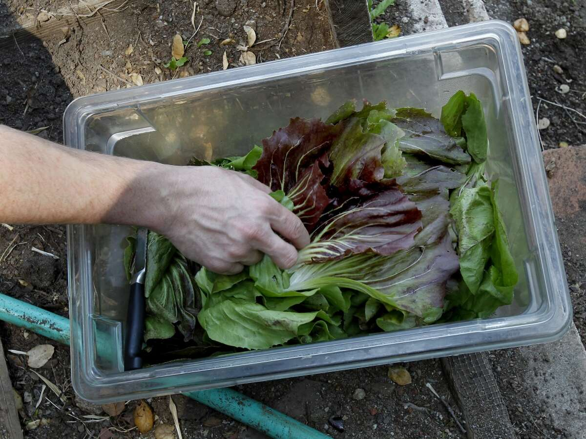 An assortment of arugula and other greens make the harvest.