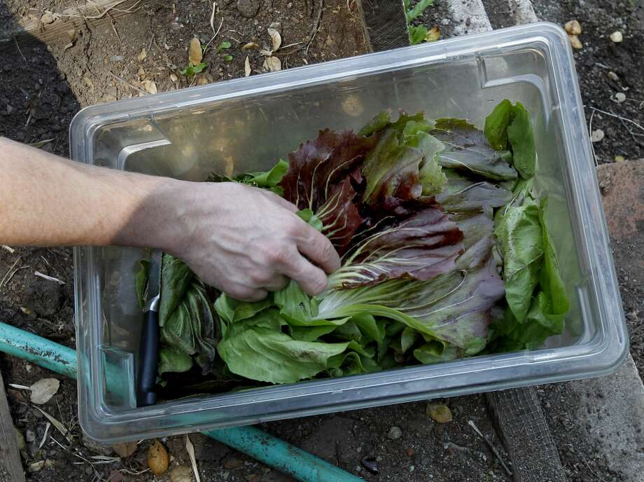 An assortment of arugula and other greens make the harvest. Photo: Brant Ward, The Chronicle