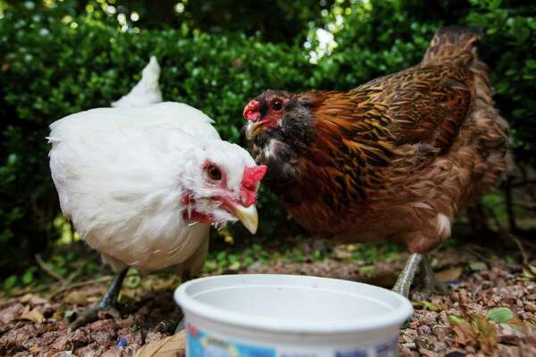 Two chickens eat their food in a family's backyard in Bellaire.