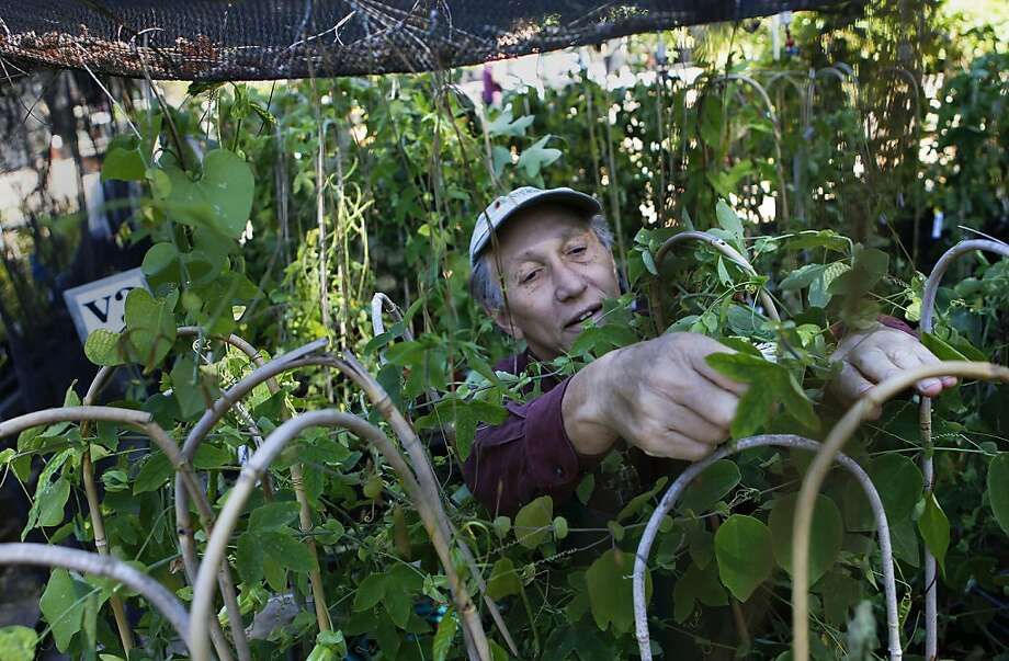 Volunteer Robert Karrmann works with passionflowers. Photo: Michael Macor, San Francisco Chronicle
