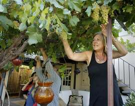 Patti Silva picks a cluster of grapes from her backyard Tuesday September 3, 2013. Kevin and Patti Silva moved their family from Atlanta, Georgia to San Anselmo, Calif. during the 2013 summer.  They found their home by using Craig's List and bought a home from a beloved longtime resident in a difficult Marin market.