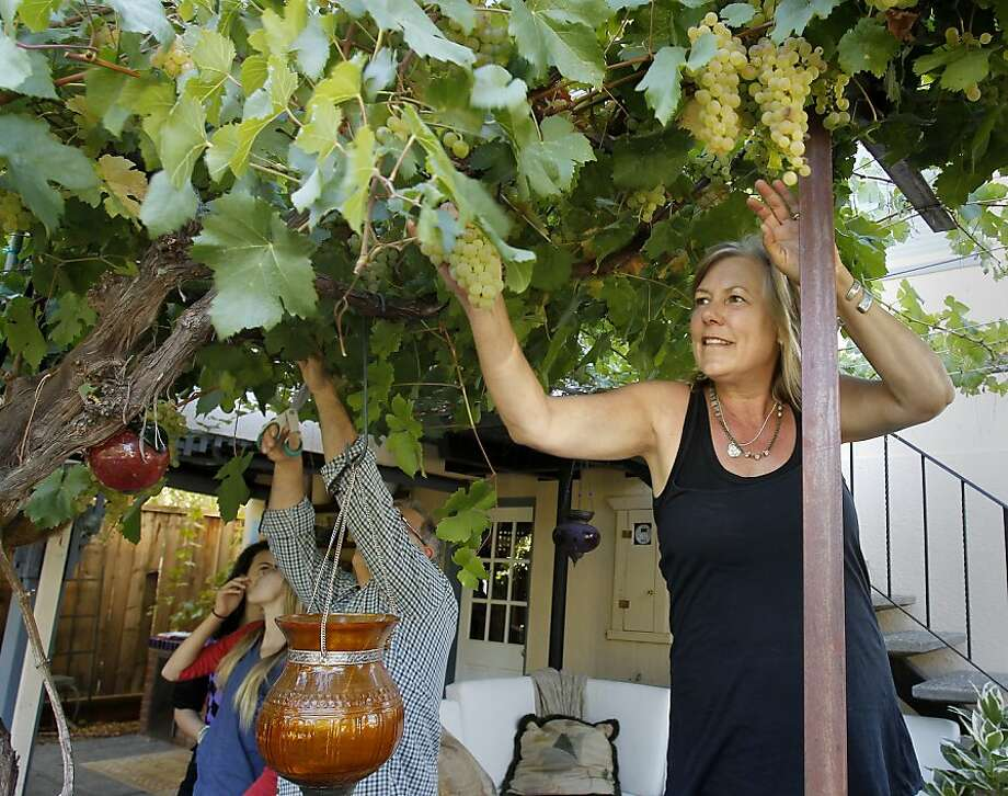 Patti Silva and her family pick grapes from the backyard of their home in San Anselmo. Tired of being outbid, the Silvas turned to placing an ad on Craigslist to help them find a home. Photo: Brant Ward, The Chronicle