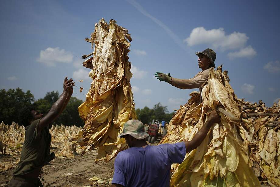 Bringing in the leaves: Migrant workers from Mexico and Nicaragua harvest Burley tobacco grown by Tucker Farms in Pleasureville, Ky. The leaves will hang in a barn for six weeks to cure. Photo: Luke Sharrett, Getty Images