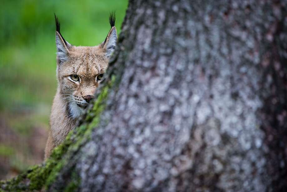 Fun tRee 4 climbing! Awl skweRRells welkum:Eurasian lynx stakeout, Hundshaupten (Germany) deer park. Photo: David Ebener, AFP/Getty Images