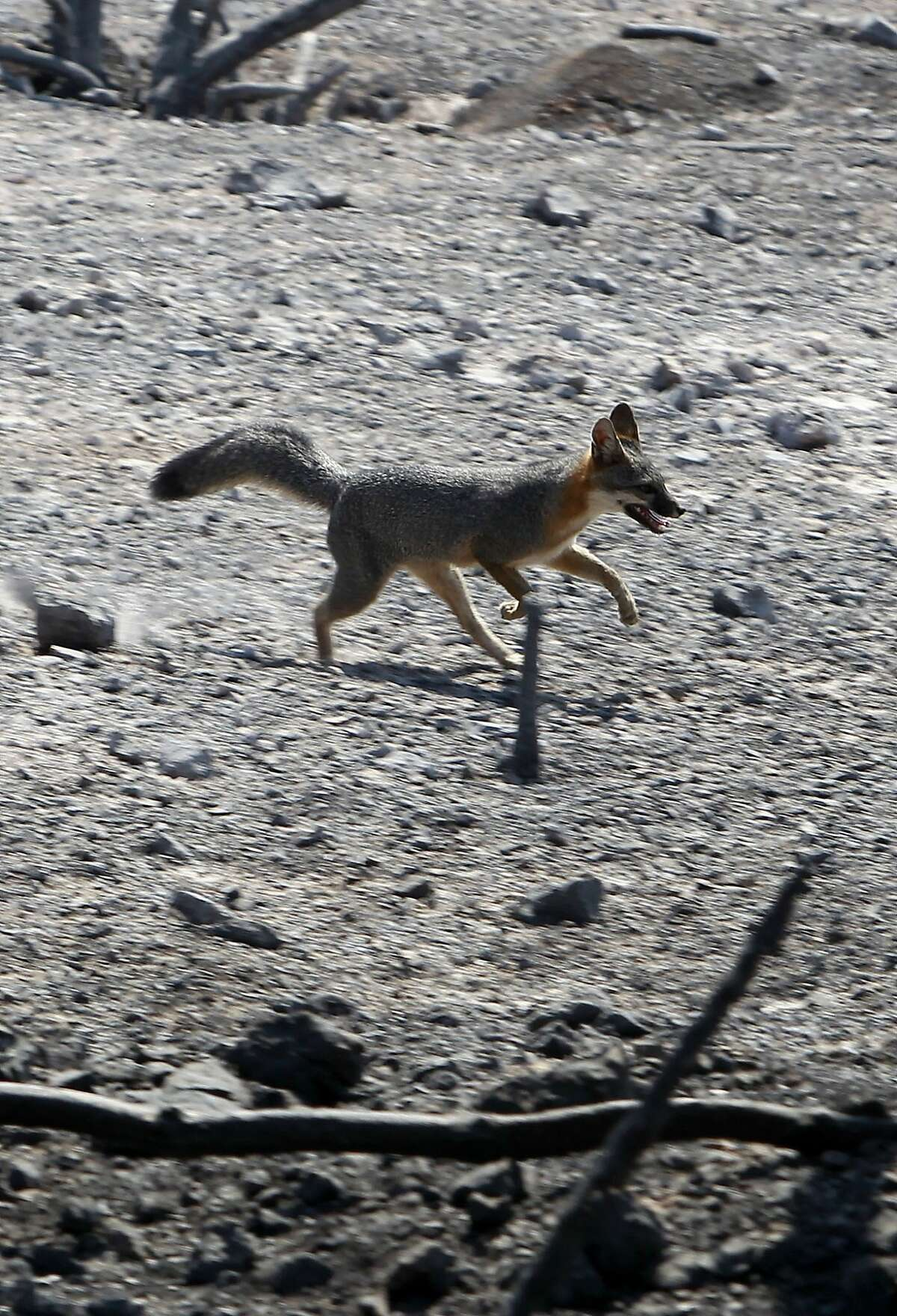 A fox takes runs across a burned hillside of Mt. Diablo State Park near Clayton, Calif. on Tuesday Sept. 10, 2013. The Morgan Fire on the eastern slopes of Mt. Diablo is beginning to come under control as firefighters have contained forty five percent of the blaze as of 7 a.m. this morning.