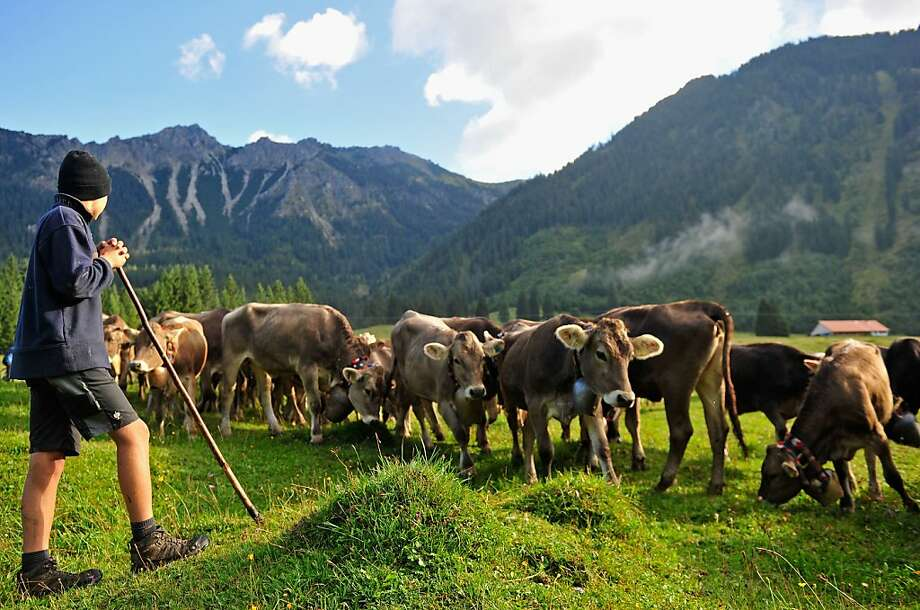 Another season of 'So You Think You Can Yodel' comes to an end: An alpine cattle herder escort cows down into the valley during the annual Viehscheid cattle drive near Bad 