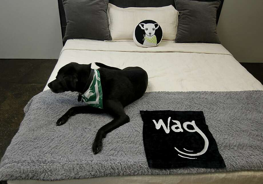 Taggert relaxes in a luxury suite at the Wag Hotel, which offers 24-hour room service to dogs. Photo: Brant Ward, The Chronicle