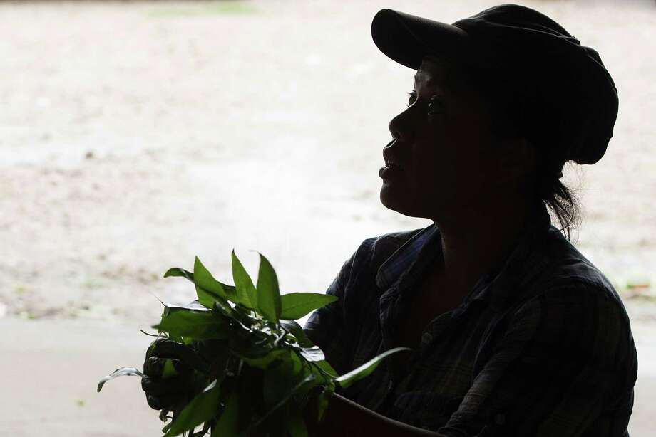 Yo Nay cleans and bundles water spinach for transport to market. The first Cambodians came here in the early 1980s, many of them via resettlement camps in Thailand and the Philippines; today between 100 and 150 families live in The Village. Photo: Smiley N. Pool, Houston Chronicle / © 2013  Houston Chronicle