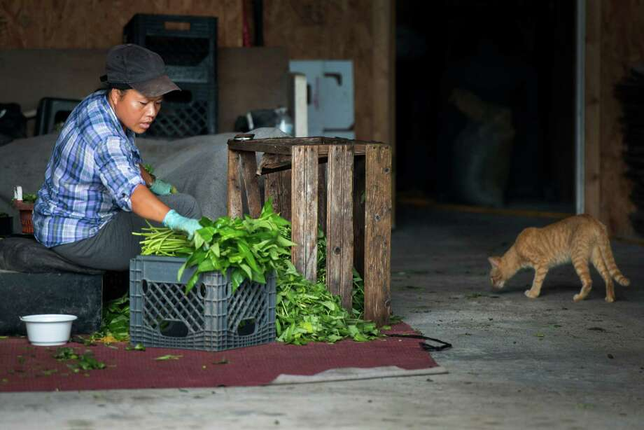 Yo Nay cleans and bundles water spinach for transport to market. Over seventy growers in Rosharon have permits with the state to allow cultivation. Photo: Smiley N. Pool, Houston Chronicle / © 2013  Houston Chronicle