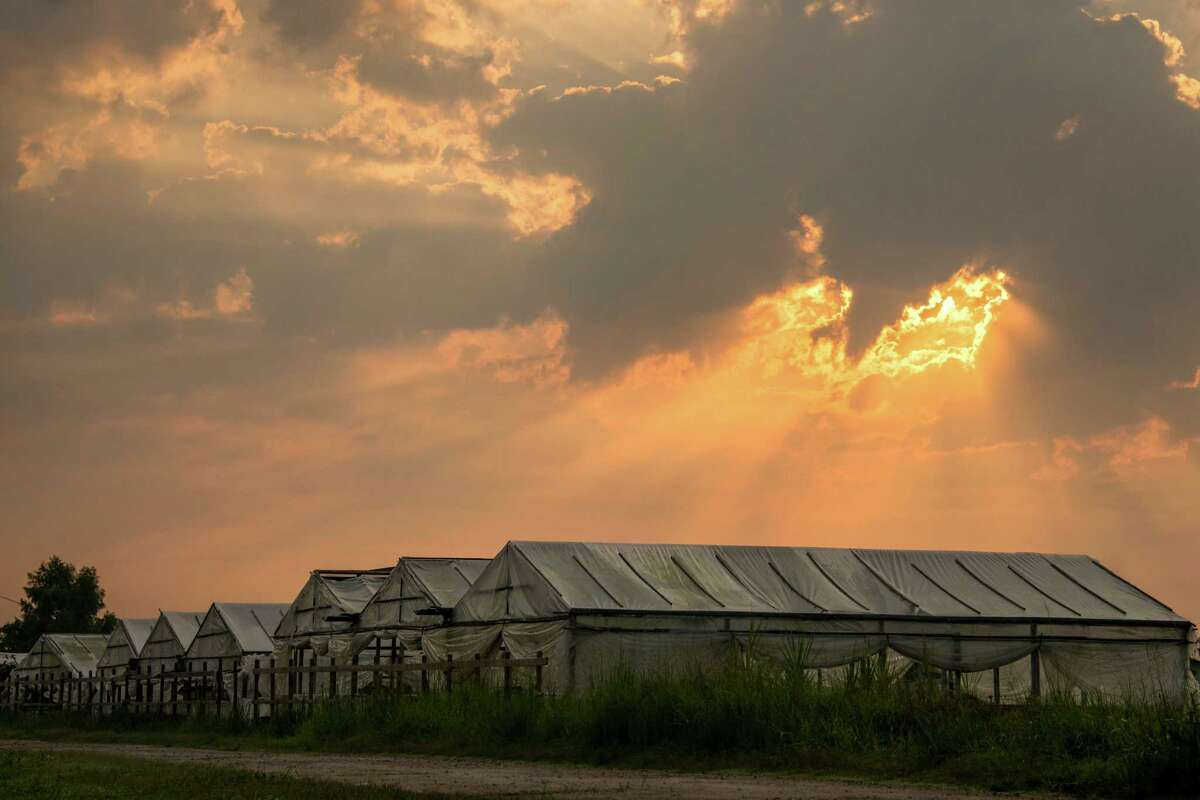 The sun rises over greenhouses filled with water spinach. The vegetable, which is popular in the Asian American community, is considered an exotic species and is regulated by the Texas Parks and Wildlife Department.