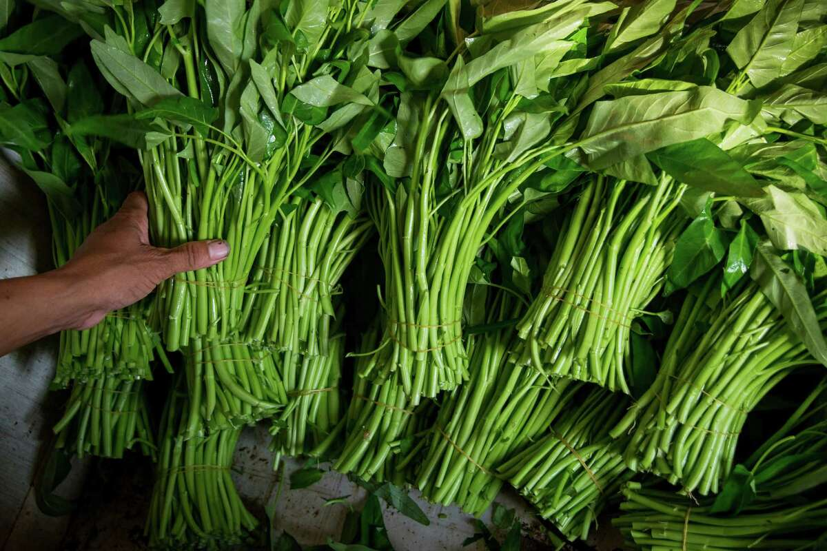 Farmer Peter Sar bundles water spinach for transport to market. A community of Cambodian farmers in the rural area south of Houston produce most of the water spinach grown in Texas.