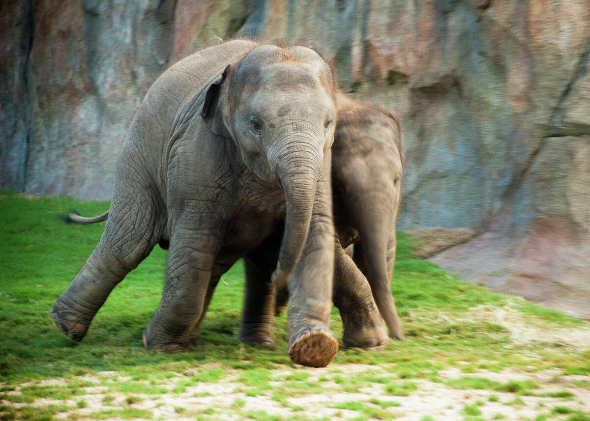 Asian elephant calves Baylor (left) and Tupelo (right) at play at the Houston Zoo's McNair Asian Elephant Habitat. (Courtesy: Houston Zoo)