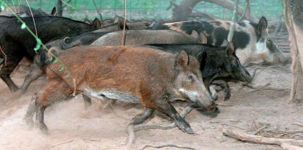 9 2002 File Photo Feral Hogs