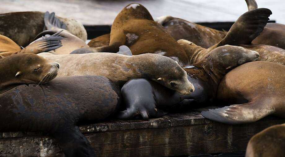 Flipper flops: Pinniped pileups are plentiful on Pier 39 at Fisherman's Wharf in San Francisco. Photo: Don Emmert, AFP/Getty Images