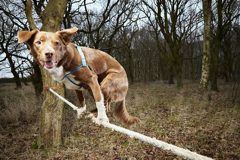 All without a net: Ozzy demonstrates his prowess on the tightrope at an undisclosed location in Britain. The pooch holds the Guinness World Record for the fastest crossing of a tightrope by a dog. He traversed a 3.5-meter length in 18.22 seconds. Photo: Paul Michael Hughes, AFP/Getty Images