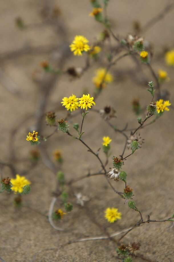 Endangered lessingia on San Bruno Mountain dunes. Photo: Lea Suzuki, The Chronicle