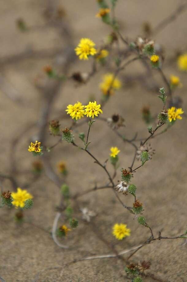 Endangered lessingia on San Bruno Mountain dunes. Photo: Lea Suzuki, The Chronicle