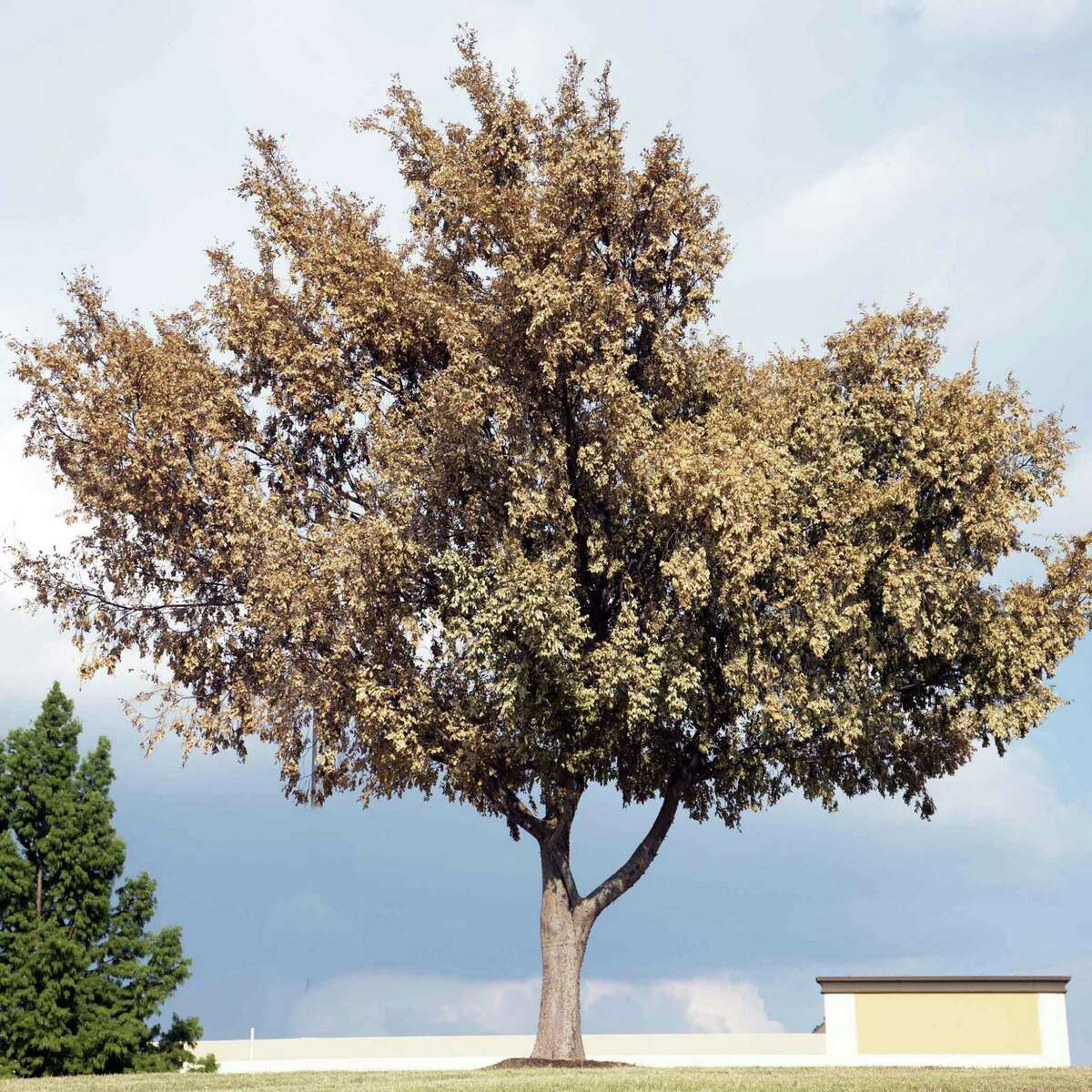To determine if a tree this brown is a goner, bend its small twigs.