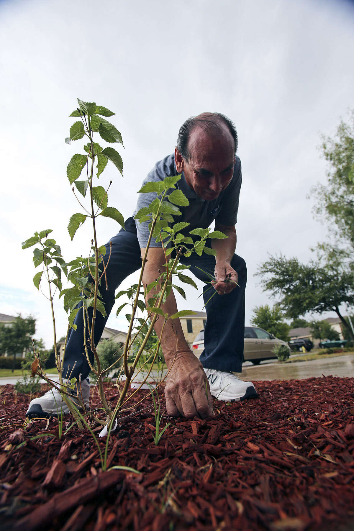 Humberto G. Guerra checks the landscape he planted with a SAWS coupon.