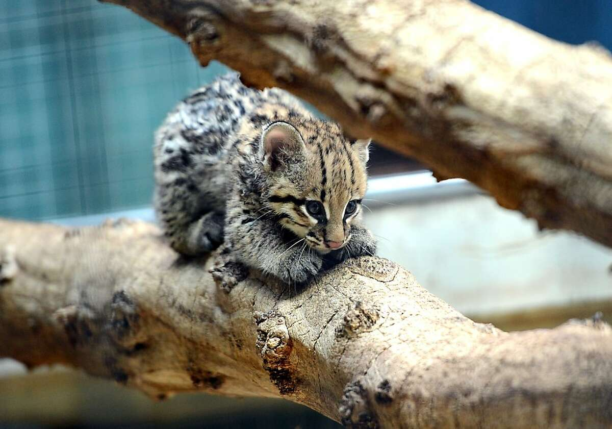 Ocelots scratch a lot: A 1-month-old kitten goes out on a limb to keep its claws sharp at the Zoologischer Garten zoo in Berlin.