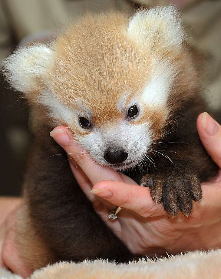 Milk now, please:A zookeeper prepares to bottle-feed a baby red panda whose mother can't care for him at Lincoln Children's Zoo in Lincoln, Neb. Photo: Eric Gregory, Associated Press