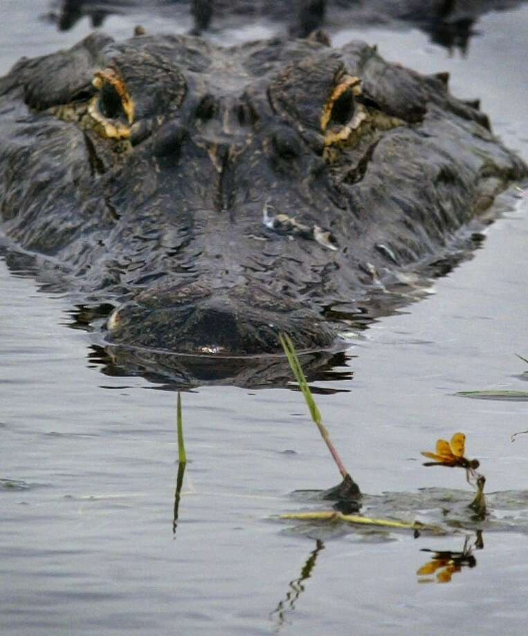 """Your playful """"tail gator"""" pun is admirable, but the six-foot alligator you brought just ate a five-year-old girl. Party foul. (We're looking at you, LSU fans.) Photo: Getty Images"""