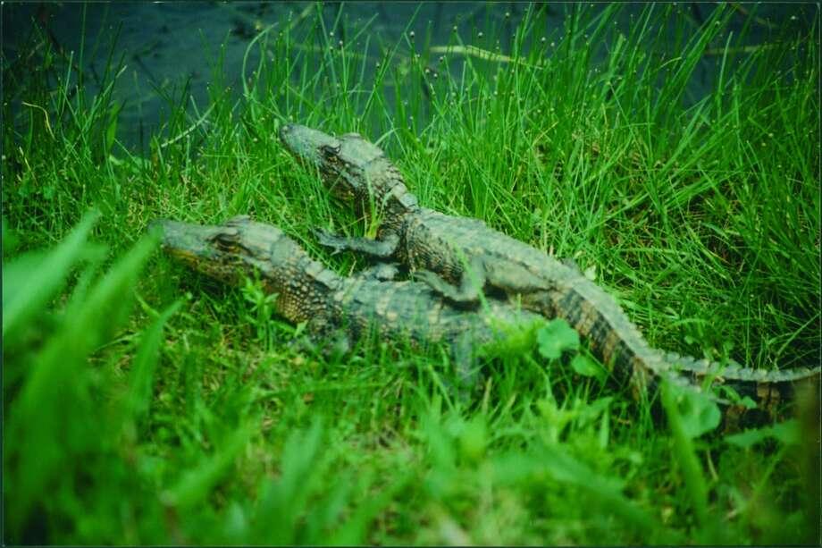 Baby alligators are spotted along the marsh in deep green grass. Photo: Diane Borden-Billiot, Www.CreoleNatureTrail.org