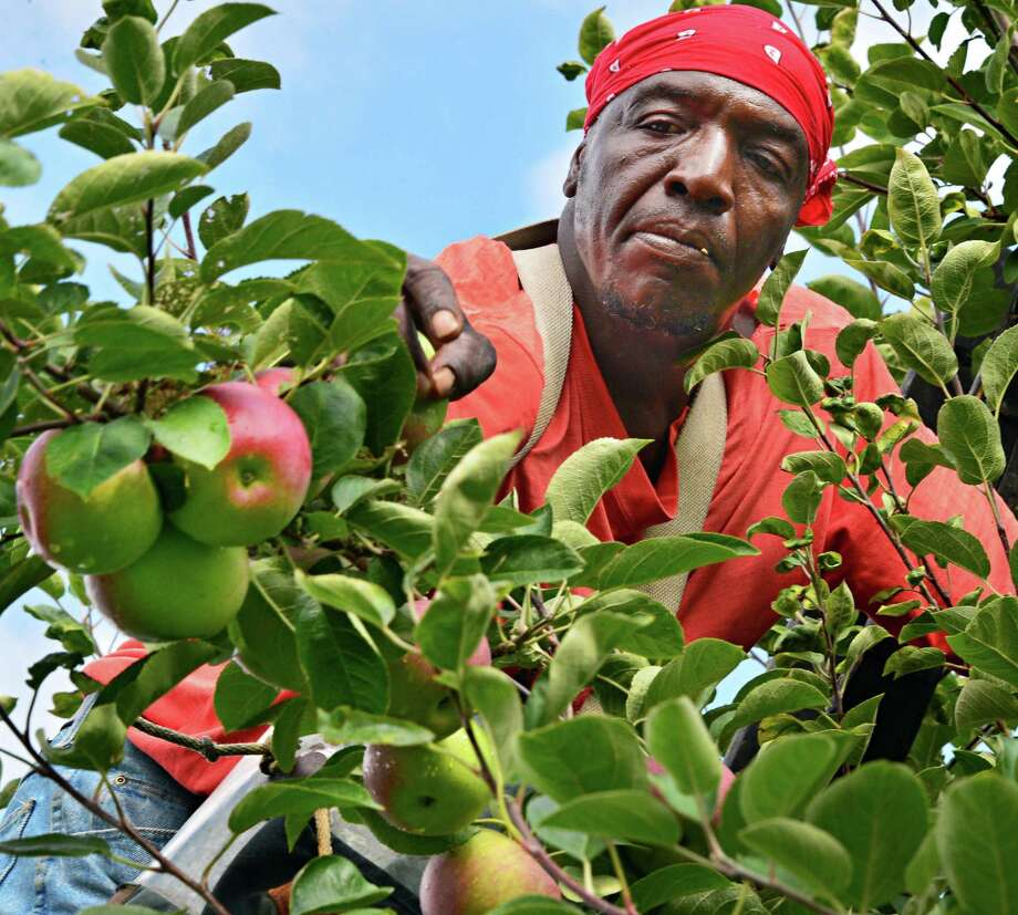 Farm worker Ezekiel Phillips looks for ripe McIntosh apples as he spot picks apples Friday morning, Sept. 13, 2013, at Goold Orchards in Schodack, N.Y.  (John Carl D'Annibale / Times Union) Photo: John Carl D'Annibale / 00023868A