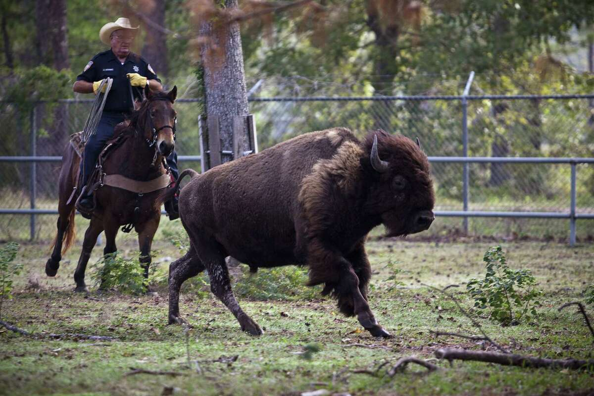 In the last legislative session, Senate Bill 174 added bison to the list of stray livestock that are protected under the state law. Whoever finds them must try to locate their owner.