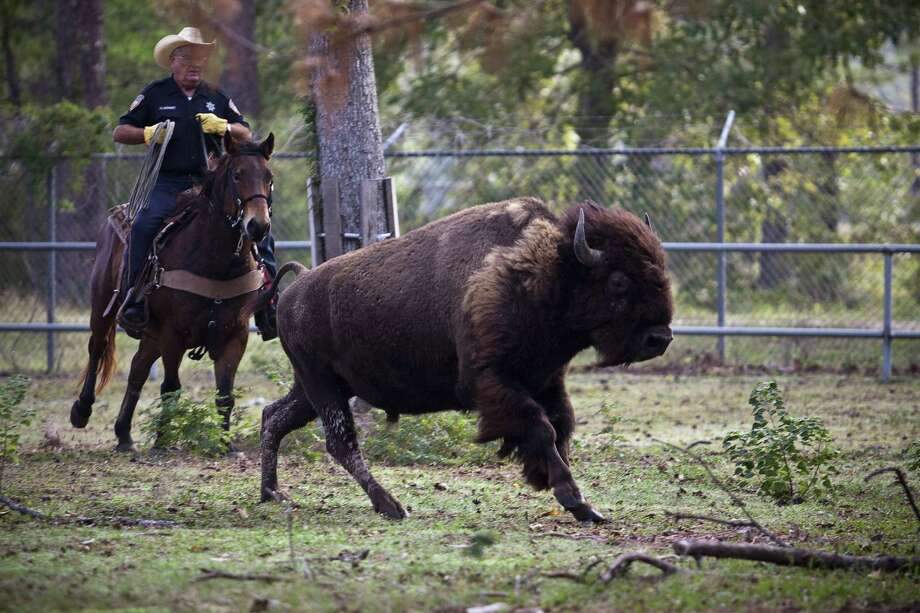 In the last legislative session, Senate Bill 174 added bison to the list of stray livestock that are protected under the state law. Whoever finds them must try to locate their owner. Photo: Eric Kayne / For The Chronicle
