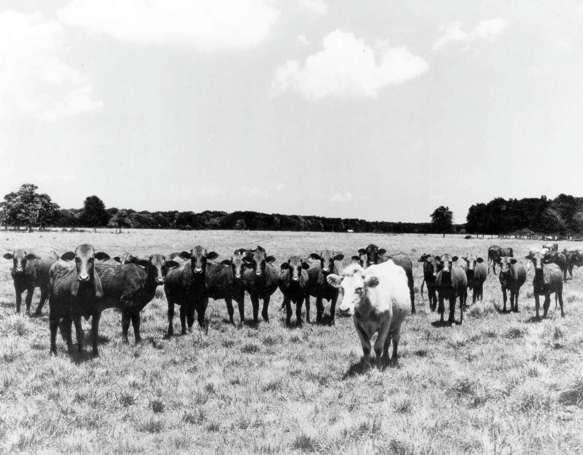 Jan. 1962 - A ground level view of the Manned Spacecraft Center site prior to ground breaking and the beginning of construction. Cows once grazed where MSC (Johnson Space Center) now stands.