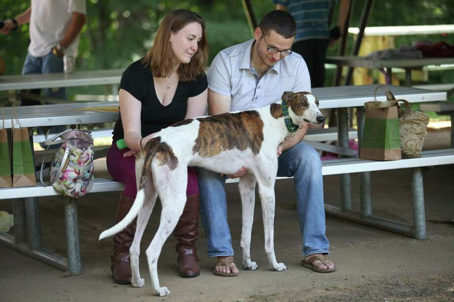 Greyhounds and adoptive parents attend the Pups Without Partners Annual Picnic at Boothe Memorial Park in Stratford, Conn. on Sunday, Sept. 15, 2013.  Pups Without Partners is a non-profit greyhound only adoption program. Photo: BK Angeletti, B.K. Angeletti / Connecticut Post freelance B.K. Angeletti