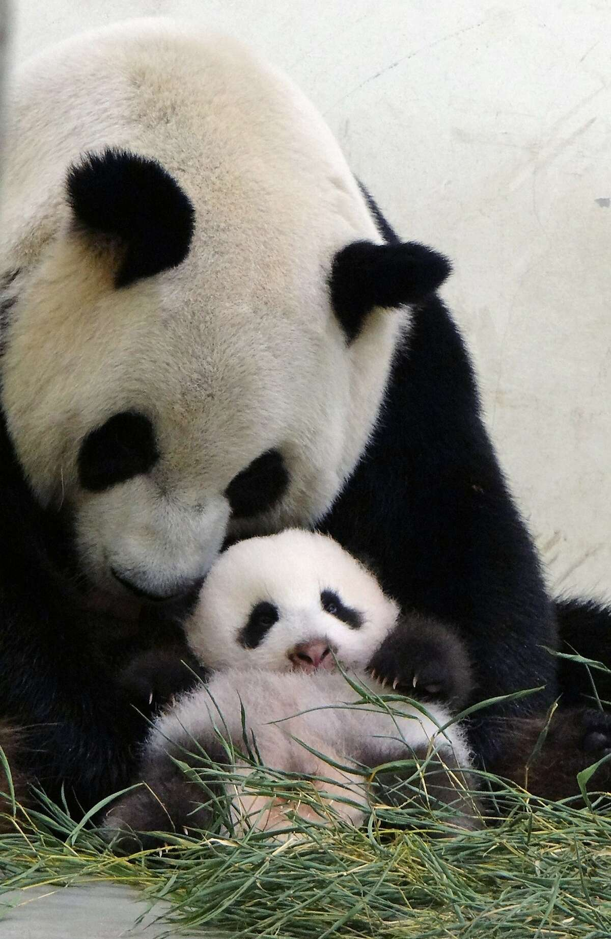 Stuff moms are good for: Forcing you to sit up straight. (Yuan Yuan and baby Yuan Zai at the Taipei City Zoo.)