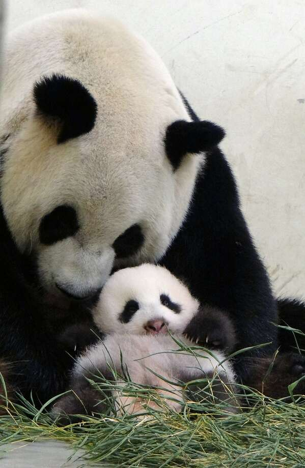 Stuff moms are good for: Forcing you to sit up straight. (Yuan Yuan and baby Yuan Zai at the Taipei City Zoo.) Photo: Taipei City Zoo, AFP/Getty Images