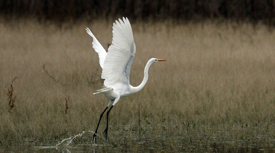 A great egret flies out of the water at Mitchell Lake Wetlands. The Mitchell Lake Audubon Center has scheduled a bird count for Saturday at 8 a.m.